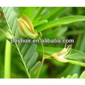 Nomame Semaherb P.E / cassia extract for fat loss
