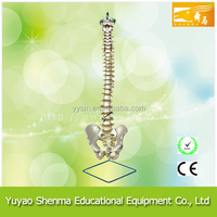 Spine and femoral basin model supplier cheap educational spine model