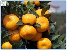 wholesale products name all citrus fruits