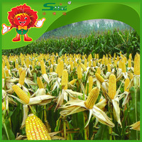 Bulk Yellow corn prices animal feeding