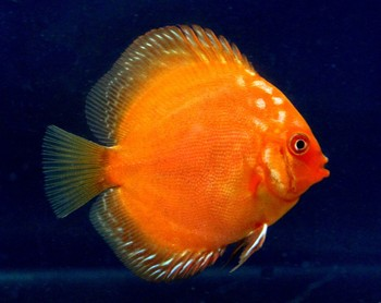Live aquarium fish buy live aquarium fish aquarium fish for Order fish online