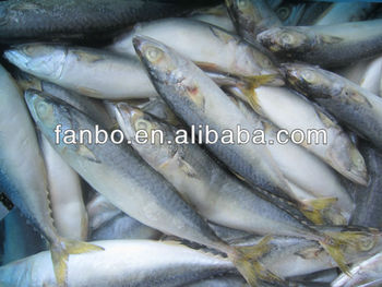 whole fresh scomber japonicus produce in ningbo