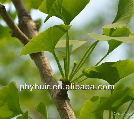 Ginkgo Biloba leaf extract 24%/6% Flavonoides/Lactone