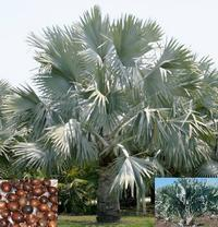 Palm Bismarckia Nobilis House Plants