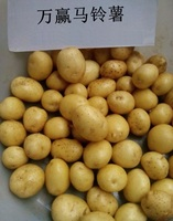 2016 new crop mini holland potato