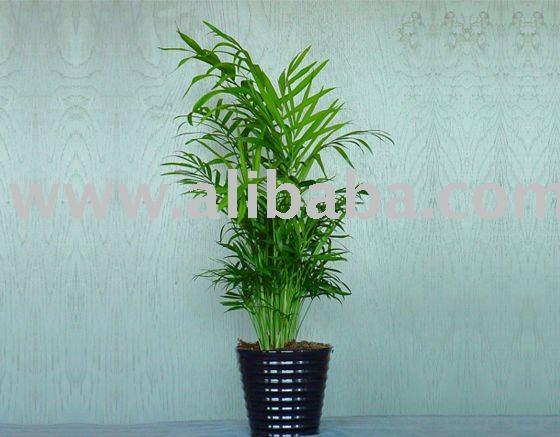 Wohnzimmer palme waldige anlagen produkt id 108393543 - Palme wohnzimmer ...