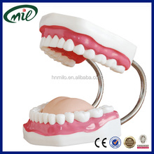 Dental demonstration models tooth brushing model for oral dental care study