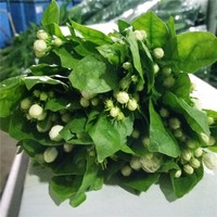 Fresh Cut Flowers The Lasting Perfume Jasmine High Quality