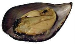 Chilean Rigged Mussel