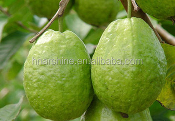 guava leaves extract The effects of leaf extract of guava on the liver  extract of guava on the liver enzymes of adult  22 preparation of the extract guava leaves were plugged.