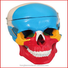 GD/A11118 Human Skull Bone Separation Anatomical Medical Model