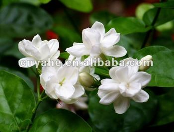 New Jasmine flavour in daily