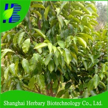 Top quality agilawood tree seeds/gaharu seeds for planting