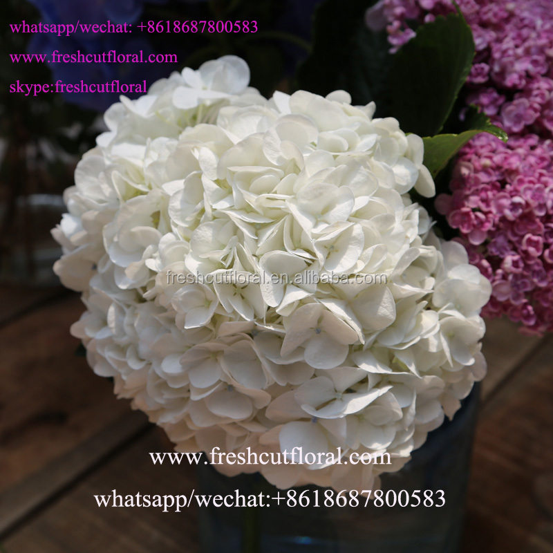 International Wholesale Hydrangea Flower Bed , Hydrangea White For Party Favors Decorations