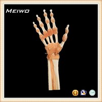 Functional model of hand and hand joint human anatomy model