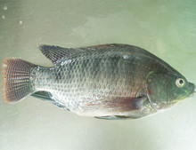Frozen Tilapia Whole Fish Wholesales Price From China