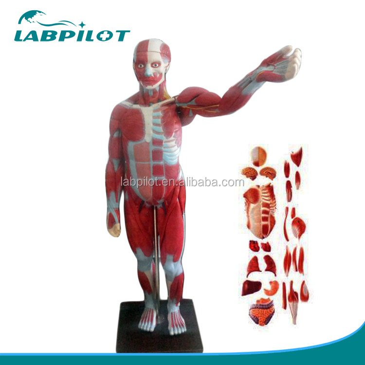 High Quality 170cm Full Body Muscles Model With Internal Organs