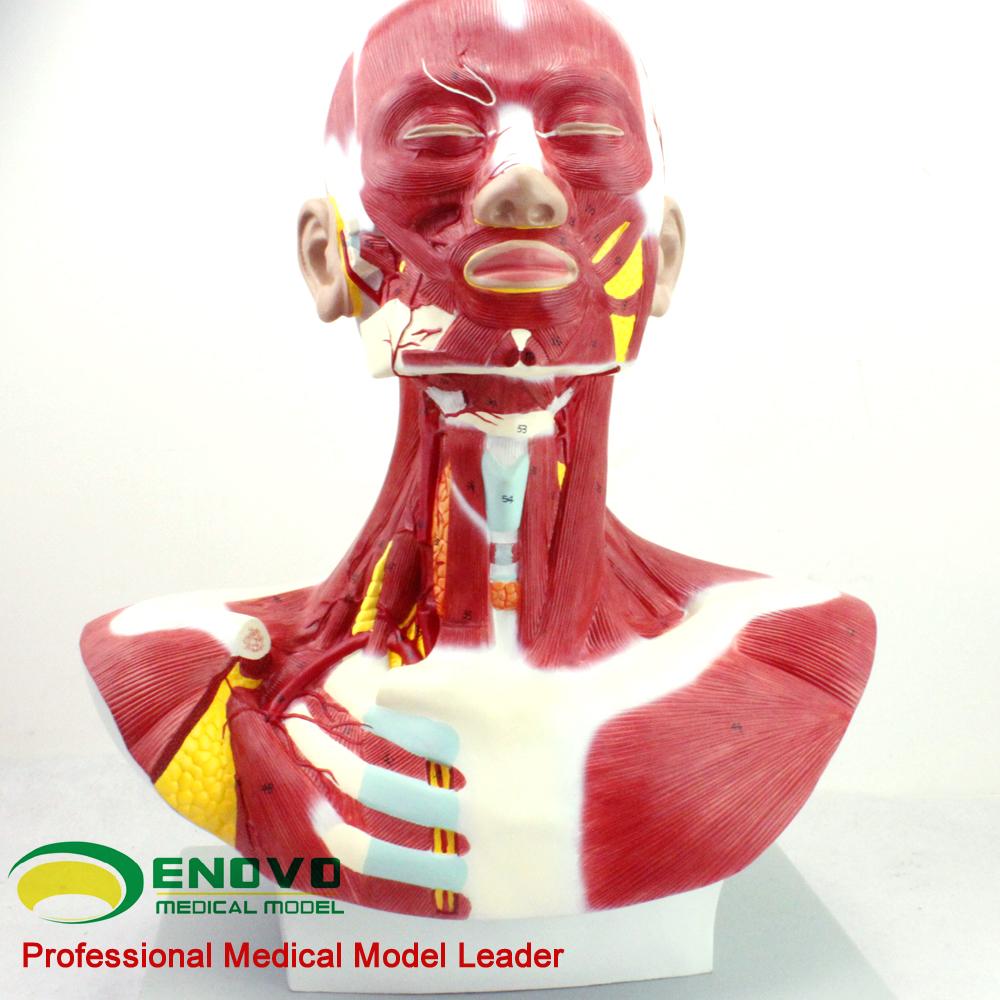 Vender 12029 anatomía médica de la cabeza y el cuello de los ...