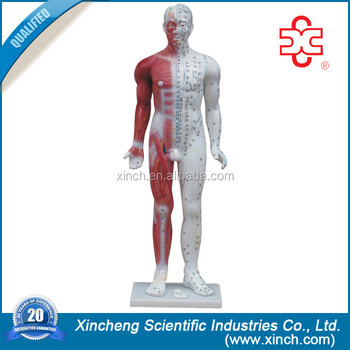 Deluxe 84cm Acupuncture Human Body Model With Muscle