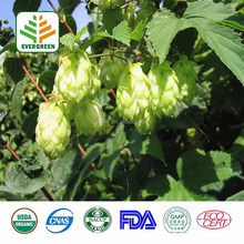 High purity Hop Flower Spike Extract,Hops Extract Powder,Hops Dry Extract