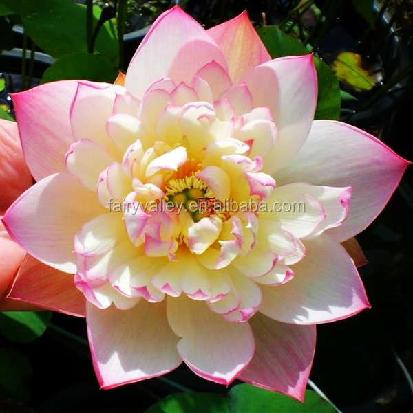 New lotus flower seeds and water Lily seeds for planting and sale wholesale