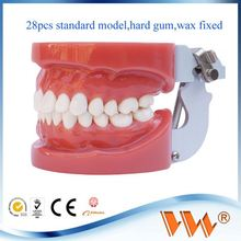 hard gum and wax fixed tooth brushing model for study