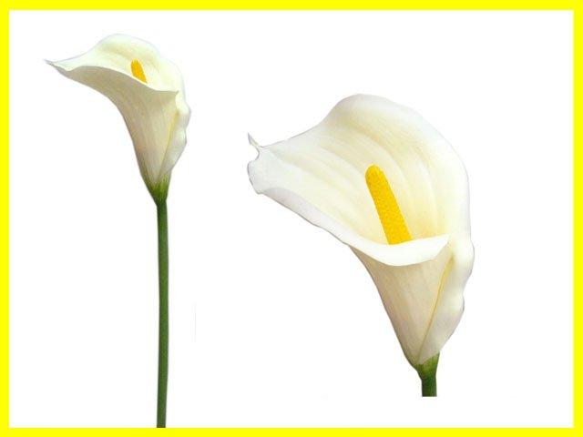 k nstlicher blume einzelner neuer blickgro e calla lilie blumen girlanden produkt id 259656726. Black Bedroom Furniture Sets. Home Design Ideas