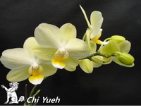 CYS45-2_Economic Green & yellow mini Daily Butterfly orchid in Taiwan
