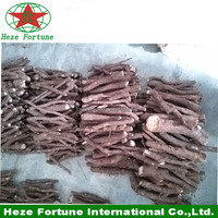 Hybrid paulownia shan tong roots cutting and seeds for sale
