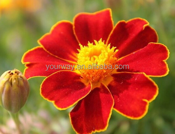 French Marigold flower seed , Tagetes patula L.