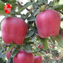 Wholesale Distributors Export Fresh Red Delicious Apple Fruit