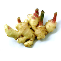 New fresh growing ginger