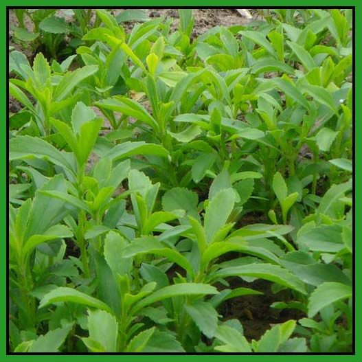 Steviol Glycosides / Stevia herb Extract