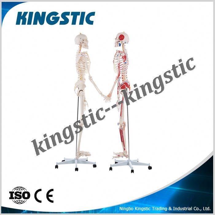 Kingstic artificial human skeleton for fast supplier