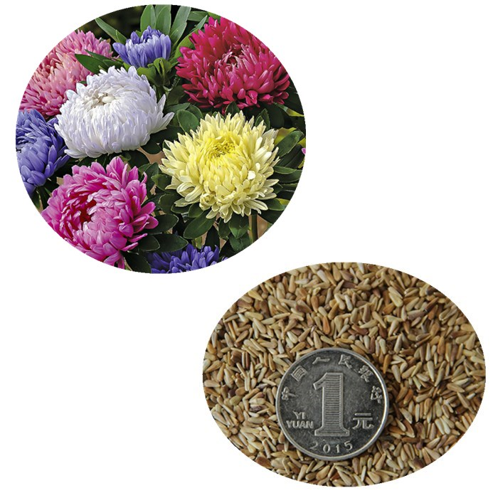 Cui ju High quality beautiful flower seeds china aster seeds