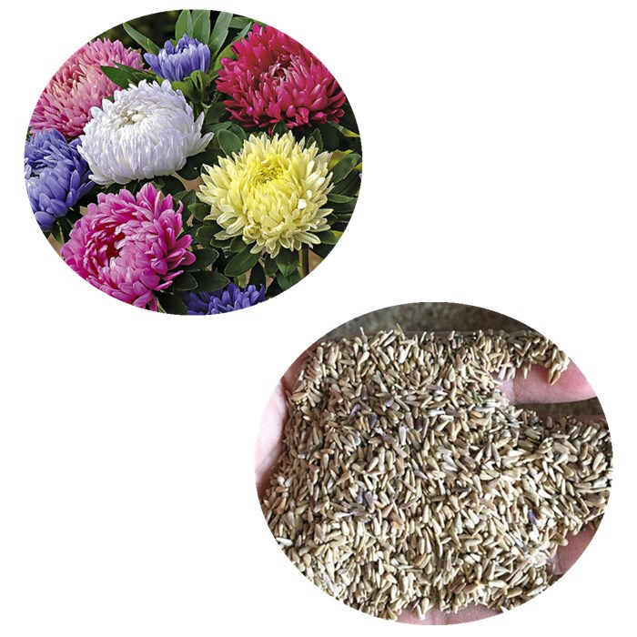 Cui ju Higher germination aster flower seeds for sale