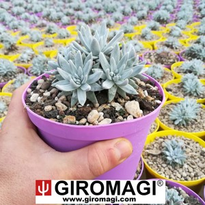 DUDLEYA GREENEI POT 14