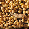 Russian Non GMO Soybeans!! Certified, Organic, High Protein, Yellow Soybeans for Human Consumption!! Premium Quality and Price.