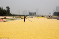 Dry Yellow Corn For Animal Feed.
