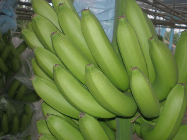 Fresh Class A Green Cavendish Bananas,FRESH GREEN CAVENDISH BANANA