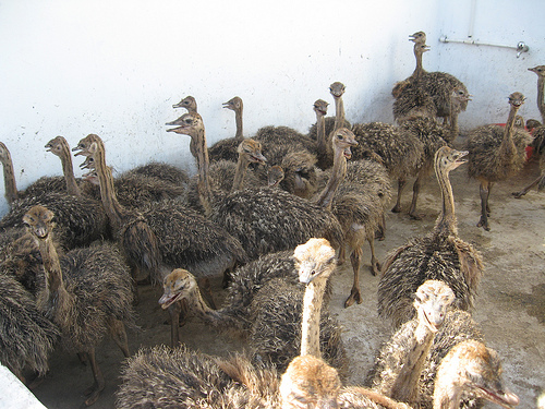 Males and Female Ostrich chicks , fresh And fertile eggs for sale