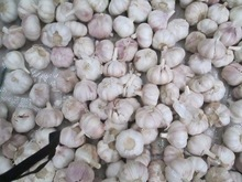 Fresh Dry Normal White Red Purple Garlic