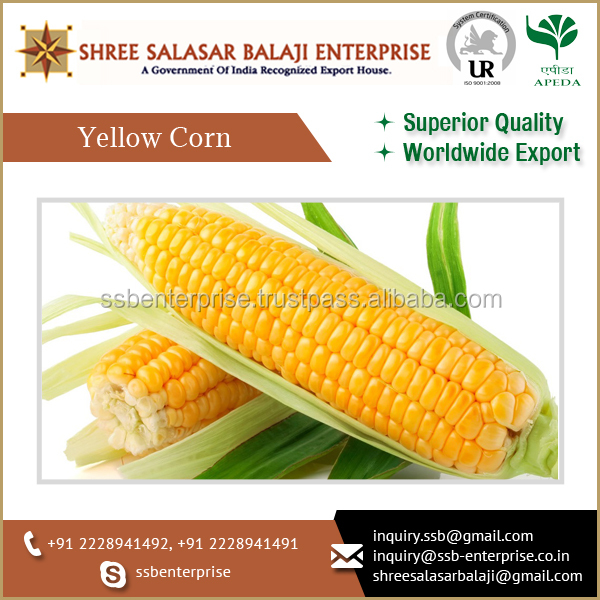 New Quality Branded Yellow Maize with High Specifications