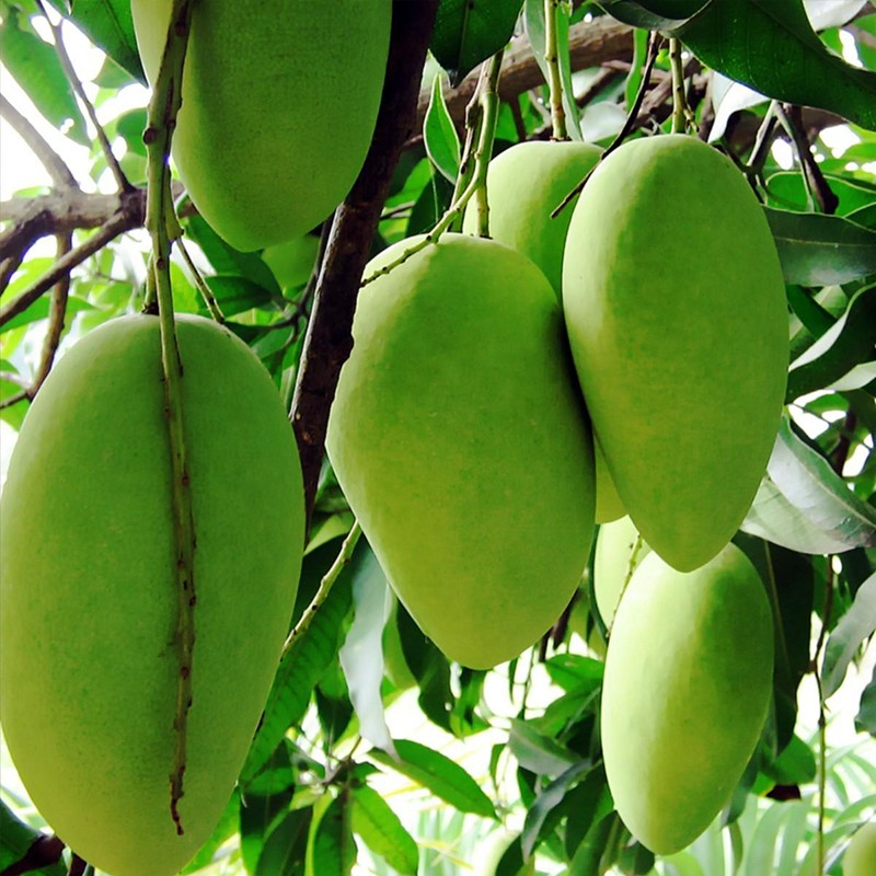 FRESH MANGO PRICE AND MANGO FRUIT, 500-1000 USD/TON