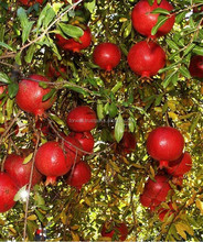 Egyptian Suppliers of fresh tasty & sweet pomegranate