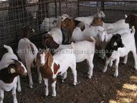 BOER GOATS, Holstein Heifers, Sheep