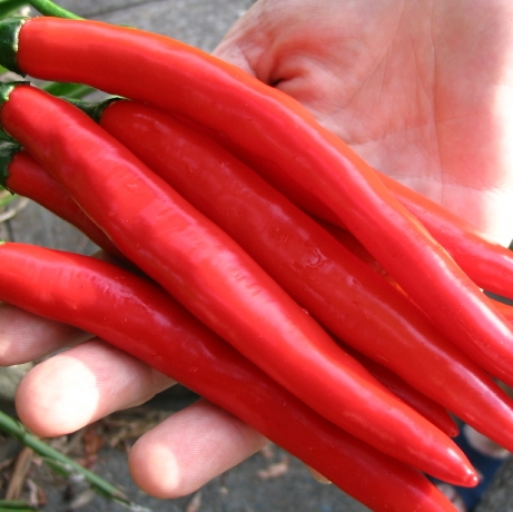 High quality fresh red chilli