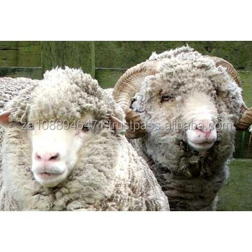 Live Awassi sheep ,lamb,Boer goat, Donkey & cattle for Sale