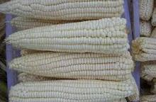 Fresh and Dried Yellow Maize available.