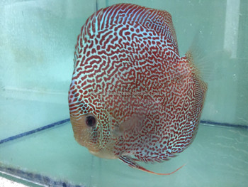 Live Discus Fish Malaysia Breeder